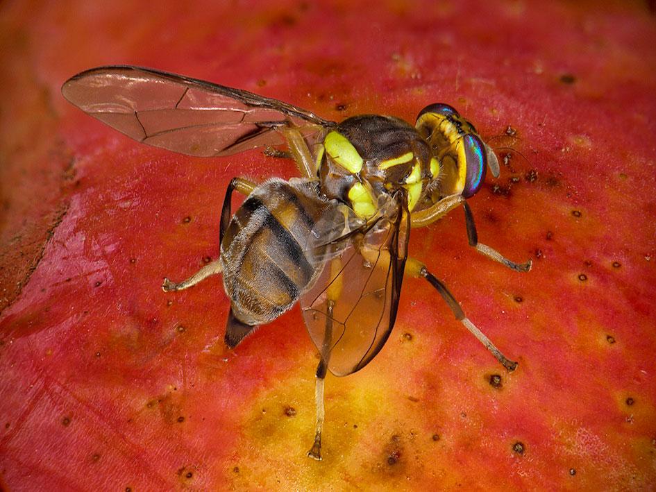Bactrocera-dorsalis-femelle-(Antoine-FRANCK-Cirad)-2