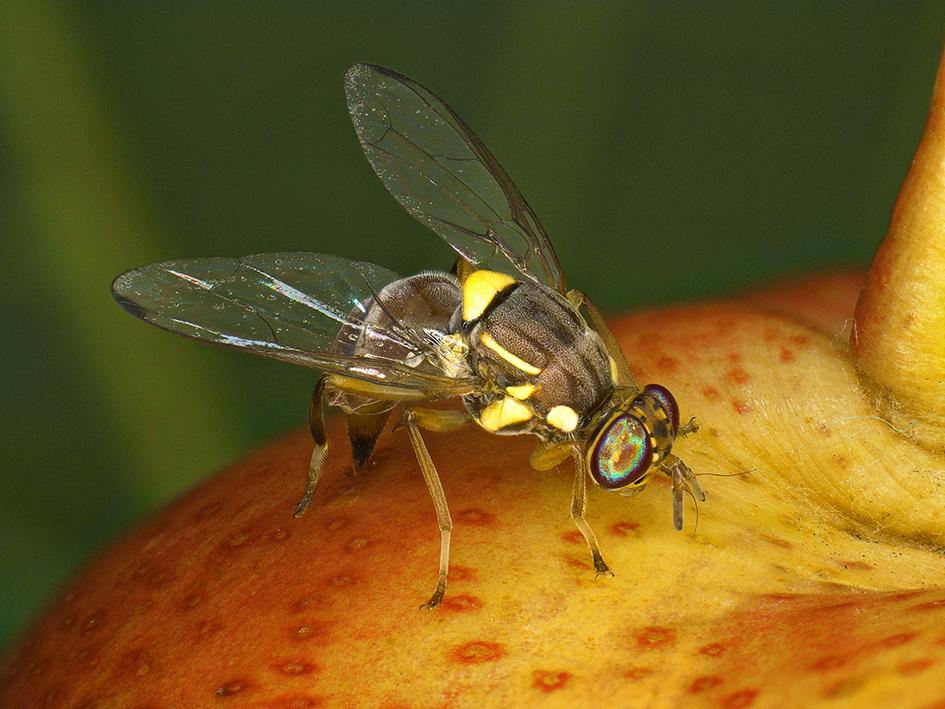 Bactrocera_zonata-femelle-(Antoine-FRANCK-CIRAD)