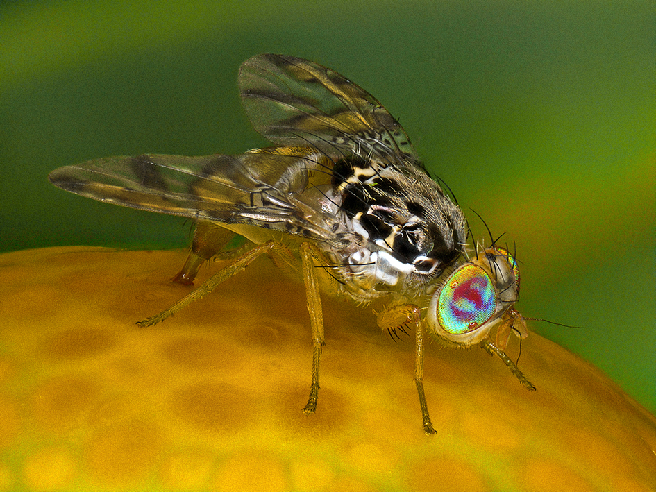Ceratitis_capitata-femelle-(Antoine-FRANCK-CIRAD)