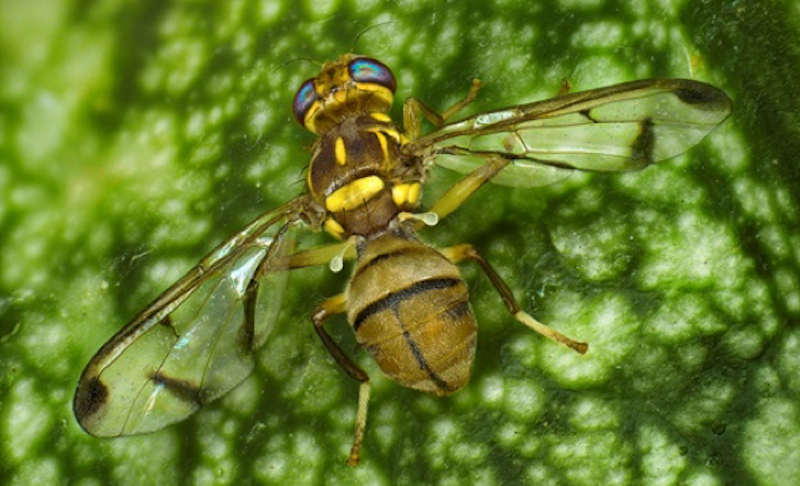 Zeugodacus cucurbitae