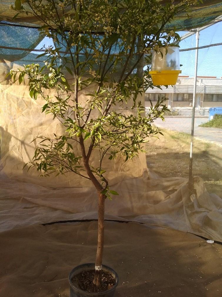 trap tree